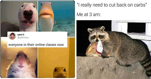 """week's best top and funniest animal memes - one of animal selfies """"everyone in their online classes now"""" and one of a raccoon stealing food """"me at 3 am"""""""