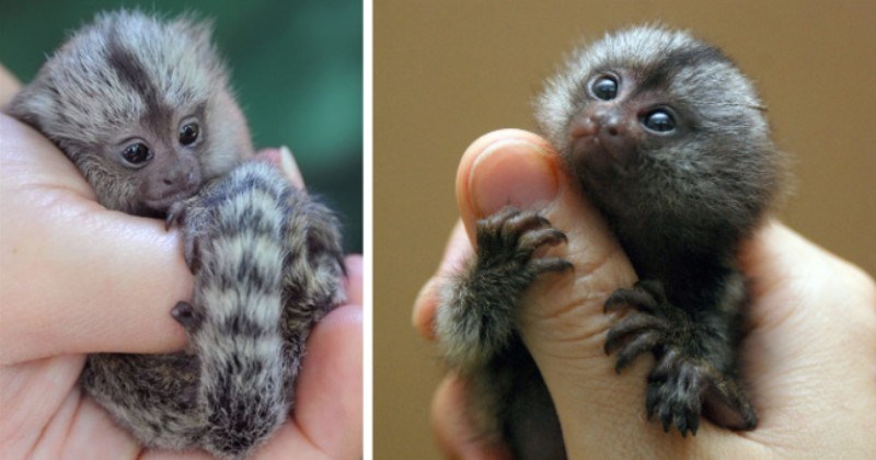 pictures of tiny finger monkeys thumbnail includes two pictures including a finger monkey holding onto someone's finger and another of a finger monkey curled up in someone's hand