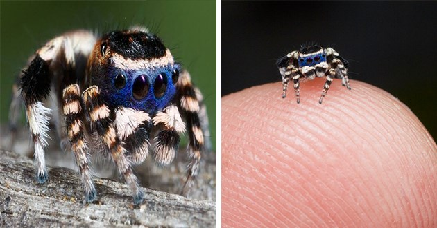 colorful and beautiful peacock spiders - thumbnail includes two images of peacock spiders