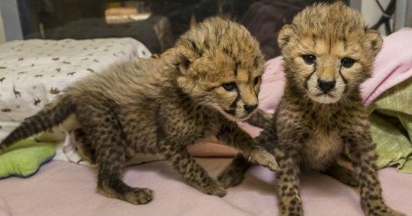 cheetah zoo cute cubs cheetahs safari - 1271301