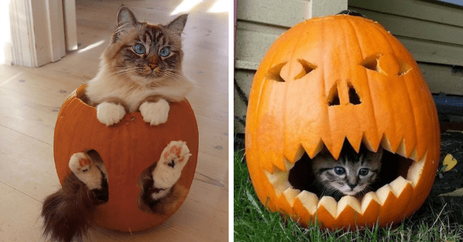 pictures of cats and kittens inside of pumpkins thumbnail includes two pictures including one of a cat sitting in a pumpkin with its legs coming out through the holes in the pumpkins and another of a kitten hiding inside of a pumpkin spooktober special
