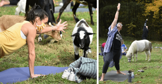 story about a fundraiser yoga class held with rescued farm animals thumbnail includes two pictures including a woman doing a yoga pose with a goat next to it and another of a woman doing a yoga pose with a pony behind her