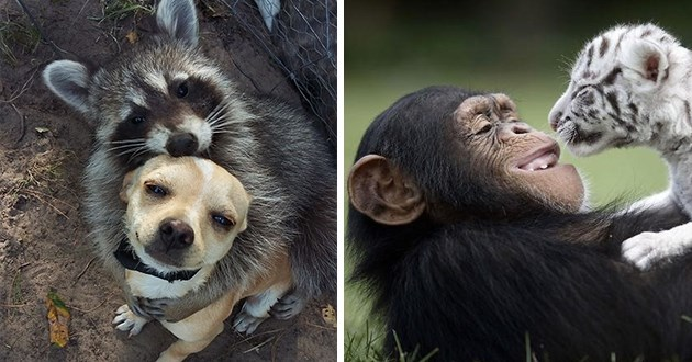beautiful friendships between interspecies - thumbnail includes two images one of a raccoon hugging a dog and one of a chimpanzee smiling while holding a white tiger cub