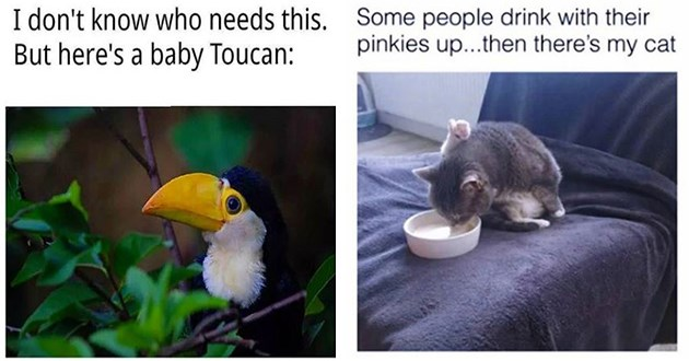 week's best top and funniest animal memes - thumbnail includes two images one of a baby toucan and one of a cat drinking water with pinky toe up in the air | don't know who needs this. But here's baby Toucan | Some people drink with their pinkies up then there's my cat