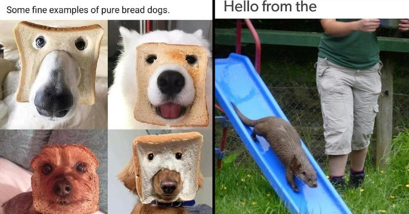 clever and stupid puns | Some fine examples pure bread dogs. dogs with their faces through slices of bread | Hello from the otter slide other side Adele song