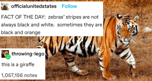 collection of funny tumblr posts and threads about animals thumbnail includes a picture of a tiger with the captions 'FACT OF THE DAY: zebras' stripes are not always black and white. sometimes they are black and orange' and 'this is a giraffe' 'Tiger - officialunitedstates FACT OF THE DAY: zebras' stripes are not always black and white. sometimes they are black and orange throwing-lego this is a giraffe Source: officialunitedstates 1,056,997 notes'