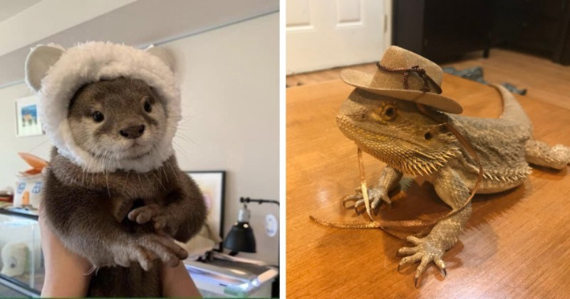 pictures of animals wearing tiny hats thumbnail includes two pictures including an otter wearing a tiny fluffy white hat and a bearded dragon wearing a tiny hat
