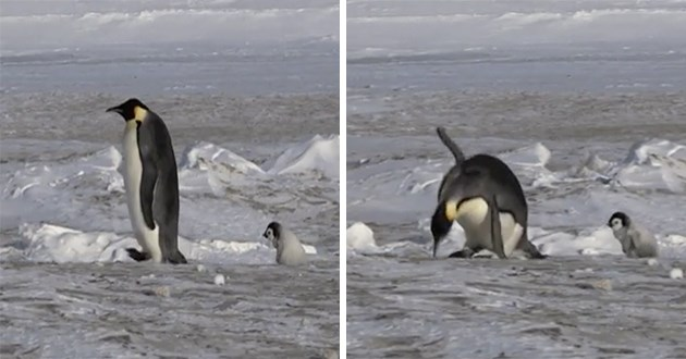 gifs of penguins slipping - thumbnail includes two screenshot of a gif where a penguin slips