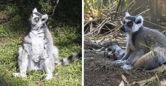 story about an abducted lemur returning to the zoo and being reunited with its family thumbnail includes two pictures of the lemur sitting | cute animal with a long striped tail and round yellow eyes