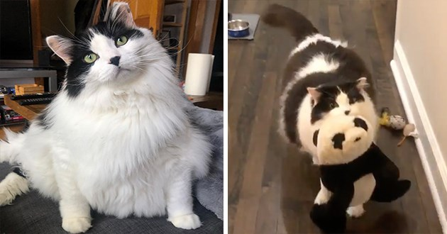 pics and vids of this week's instagram spotlight star, Panda, the chonky bear - thumbnail includes two images of Panda, a portrait shot and one of Panda carrying around his stuffed panda animal