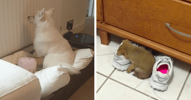 pictures and tweets of dramatic dogs acting like drama queens thumbnail includes two pictures including a dog staring at a wall and a puppy lying face down in a shoe