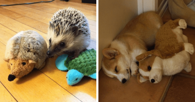 pictures of animals with stuffed animals that look just like them thumbnail includes two pictures including one of a hedgehog with a stuffed hedgehog and another of a dog with a stuffed do lying next to each other