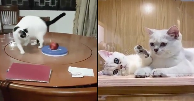 adorable and silly cat gifs - thumbnail includes two images one of of cat on a round table walking in circles and one of two kittens being cute