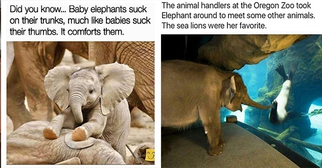 all things elephants related, memes, tweets, tumblr posts - thumbnail includes two images one of baby elephant sucking its trunk and one of an elephant being introduced to a seal at the Oregon Zoo | Did know. Baby elephants suck on their trunks, much like babies suck their thumbs comforts them. | animal handlers at Oregon Zoo took Elephant around meet some other animals sea lions were her favorite.