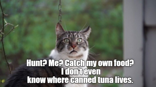 original cat memes by i can has cheezburger users lolcats - thumbnail of a cat looking at the viewer with a perplexed surprised expression Hunt Catch my own food? I don't even know where canned tuna lives.