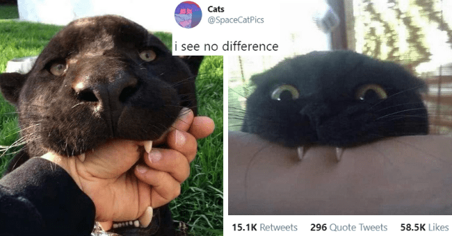 this week's best cat tweets thumbnail includes two pictures including a black kitten biting someone's arm and a black panther biting someone's hand 'Nose - Cats @SpaceCatPics i see no difference