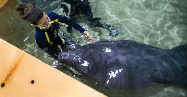 story about two rescued orphaned manatees getting released back into the wild after a successful rehabilitation in a zoo thumbnail includes a picture of one of the manatees in water with an aquarium worker