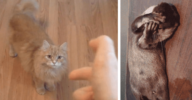 gifs of overly dramatic animals playing dead thumbnail includes two pictures including a person pointing finger-guns at a cat and another of an otter covering its face with its paws