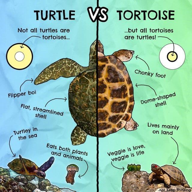 top weekly infographics guides | Turtle - TURTLE VS TORTOISE Not all turtles are .but all tortoises tortoises. are turtles! Chonky foot Flipper boi Dome-shaped shell Flat, streamlined shell Lives mainly Turtley sea on land Eats both plants and animals- Veggie is love, veggie is life Just Keep Thinking