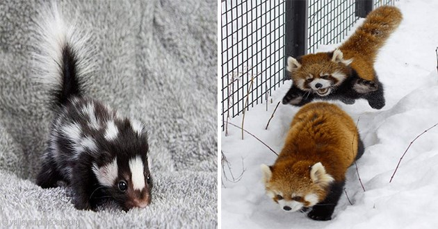 adorable pics and gifs of animals - thumbnail includes two images one of a baby skunk and one of two red pandas playing