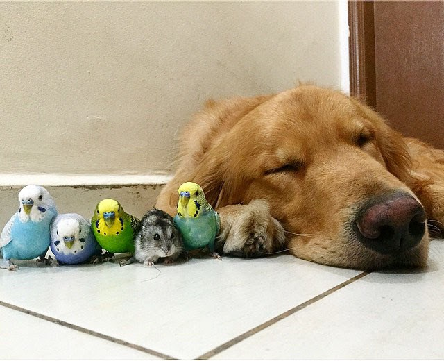 photos of an adorable and unusual mix of animals all living together - thumbnail of sleeping golden retriever beside birds and a hamster