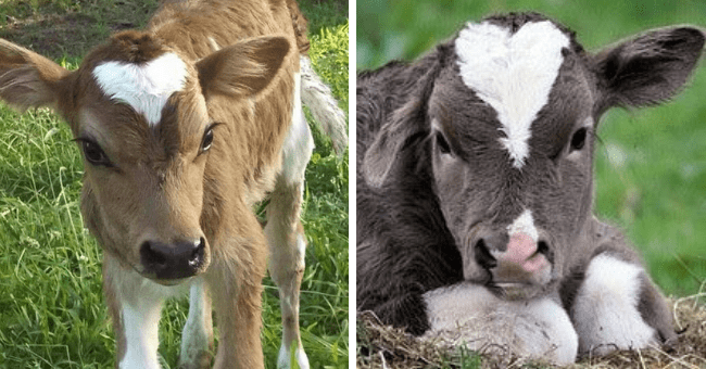 pictures of cows with hearts on their fur thumbnail includes two pictures including one of a light brown cow with a heart on its forehead and another dark brown cow with a heart on its forehead