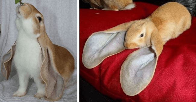 pictures of bunnies and rabbits with huge fluffy ears thumbnail includes two pictures including a rabbit with huge ears on a bed and another rabbit with huge floppy ears reaching for a leaf