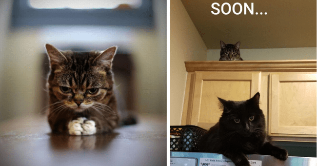 pictures and tweets of cats looking like they're plotting something thumbnail includes two pictures including a kitten with its paws held together like it's scheming and another of a cat on a shelf looking like its plotting something against another cat below it with a caption saying 'soon...'