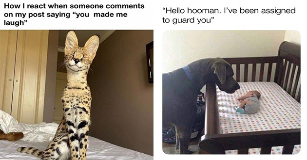 weeks best and cutest wholesome animal memes - thumbnail includes two images one of a giant dog guarding a baby and one of a serval cat smiling | react someone comments on my post saying made laugh | Hello hooman been assigned guard