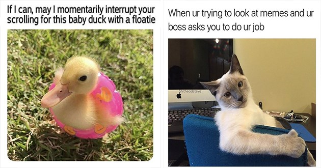 "funny and cute animal memes and tweets - thumbnail includes two memes one of a little ducky in a floatie and one of a cat ""when ur trying to look at memes and ur boss asks you to do ur job"" 