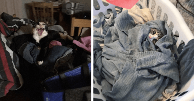 pictures and gifs of cats being fascinated with laundry thumbnail includes two pictures including one of a cat wrapped up in laundry and another of a kitten standing on top of a laundry pile screaming