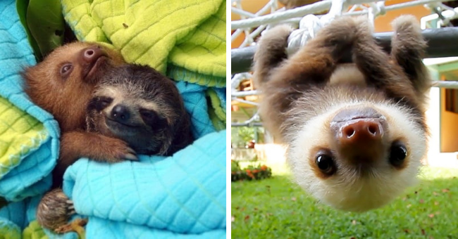 pictures and gifs of baby sloths thumbnail includes two pictures including one of two baby sloths cuddling and another of a baby sloth hanging from a tree branch