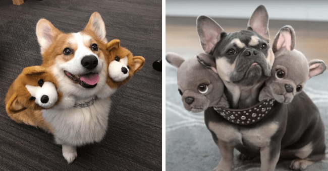 pictures of dogs wearing Cerberus costumes thumbnail includes two pictures of dogs wearing Cerberus costumes three headed dog