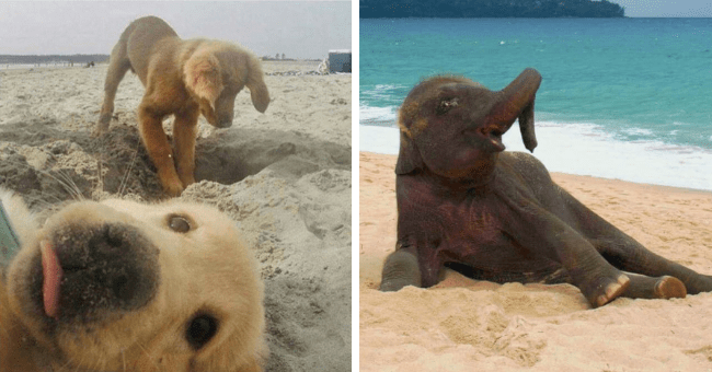 pictures of animals hanging out and enjoying the beach thumbnail includes two pictures including an elephant posing on the beach and another of two dogs on the beach one digging in the sand the other photobombing it