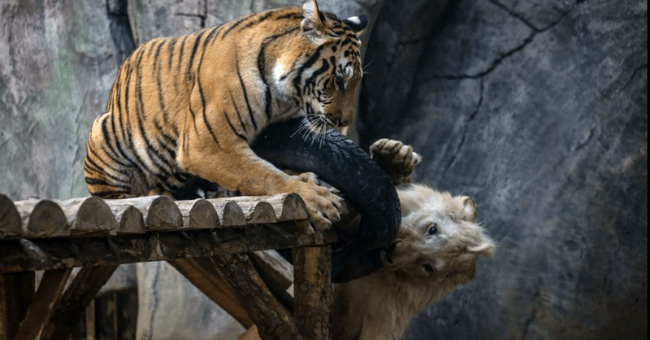 wholesome animals, story about a white lion and a tiger who are best friends thumbnail includes a picture of a white lion and a tiger playing together