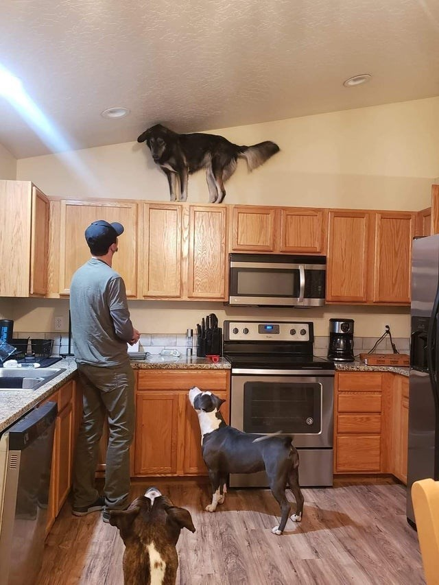 pics of cute dogs looking funny and silly subreddit dedicated to photos of good doggos in adorable and entertaining situations | dog standing high up on kitchen cabinets looking down at a human