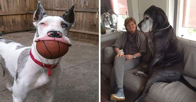 great danes and how large they are in comparison to other things - thumbnail includes two images - one of a great dane with a whole basketball in it's mouth and one of a great dane sitting on a couch