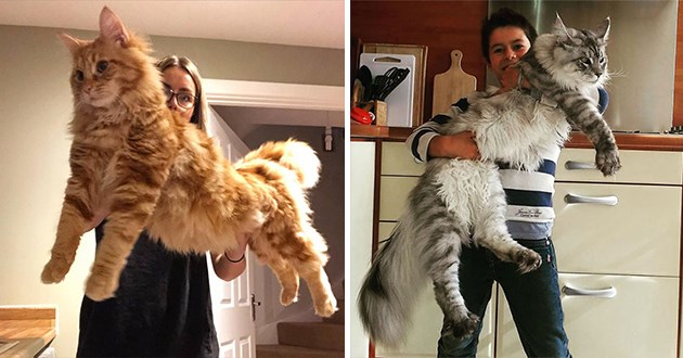 giant and fluffy maine coons, thumbnail includes two images of two giant maine coons | people holding huge fuzzy cats