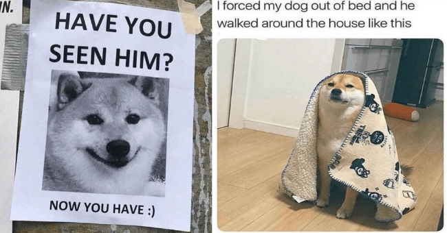 collection of dog memes thumbnail includes two pictures including one of a lost dog sign 'Vertebrate - IN. HAVE YOU SEEN HIM? NOW YOU HAVE :)' and another of a dog with a blanket on it 'Dog - Canidae - I forced my dog out of bed and he walked around the house like this LASTE THEFE'