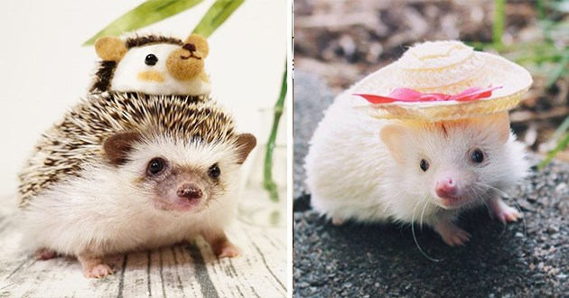 adorable little hedgehogs donning adorable little hats - thumbnail of two hedgehogs wearing tiny hats hedgehog in a funny hedgehog shaped felt hat and a white hedgehog in a straw hat