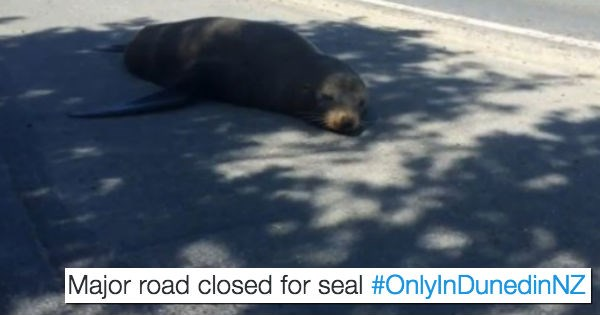 sleepy seal shuts down a busy road in new zealand to take a nap