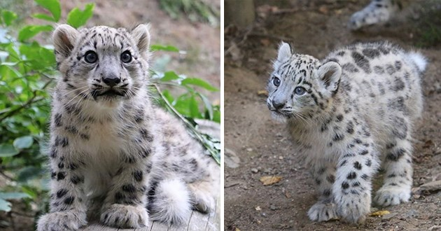 snow leopard appreciation with adorable and gorgeous pics and vids - thumbnails includes two images of a snow leopard cub