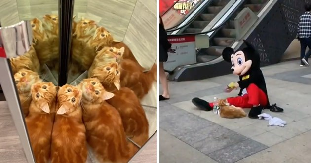most viral and adorable cat videos trending on instagram - thumbnail includes two images one of cat | small orange kitten standing between mirrors creating multiple reflections of itself | person in a Mickey Mouse costume sitting on the ground and playing with a cat