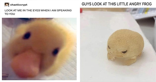 """week's best top and funniest animal memes - thumbnail includes two memes one of an angry little frog """"guys look at this angry little frog"""" and one of a close up of a duck """"look me in the eyes when im speaking to you"""""""