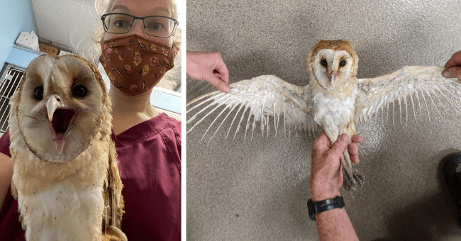 story about an owl that was rescued from the California wildfires by firefighters thumbnail includes two pictures including the owl with its spread out wings singed and another of the owl making a funny face at the camera with its caretaker behind it