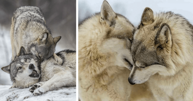 pictures of wolves showing each other affection and love thumbnail includes two pictures including one of two wolves nuzzling each other's faces and another of two wolves one of whom is shoving its nose in another wolf's neck