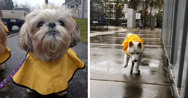 pictures of dogs and puppies wearing raincoats thumbnail includes two pictures of dogs wearing yellow raincoats walking in the rain