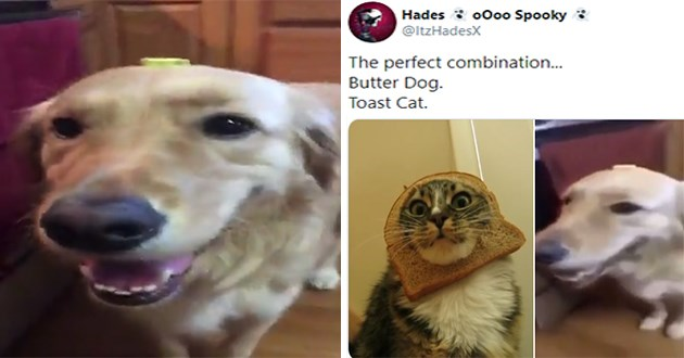 new meme sensation called 'butter dog' is born - thumbnail of dog with butter on its head and a tweet of toast cat and butter dog | Hades o000 Spooky @ltzHadesX perfect combination. Butter Dog. Toast Cat.