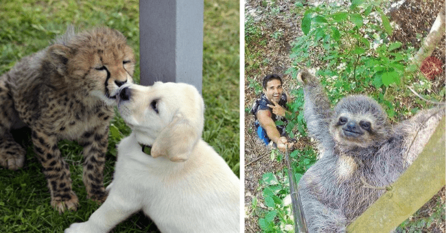 this week's collection of pictures that are worth more than 1000 words thumbnail includes two pictures including a cheetah licking a dog's face and a person taking a selfie with a sloth