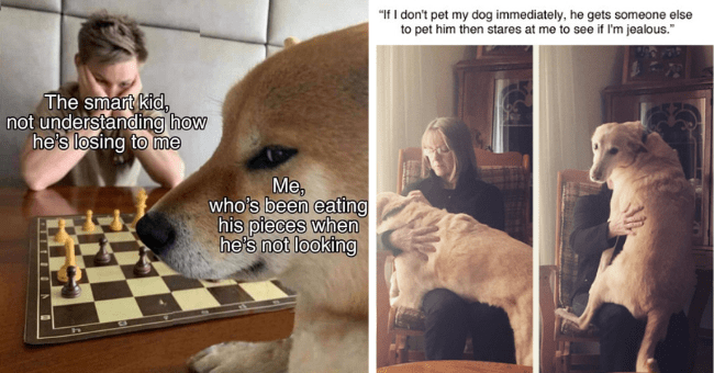 "this week's collection of dog memes thumbnail includes two pictures including one of a dog and a human playing chess with the dog looking at the camera all sneaky 'Games - The smart kid, not understanding how he's losing to me Me, who's been eating his pieces when he'' and another of two images of the same dog sitting on a human's lap and in one of them it's looking at the camera 'Dog - ""If I don't pet my dog immediately, he gets someone else to pet him then stares at me to see if I'm jealous.""'"
